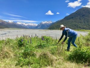 weeding russell lupins in arthurs pass